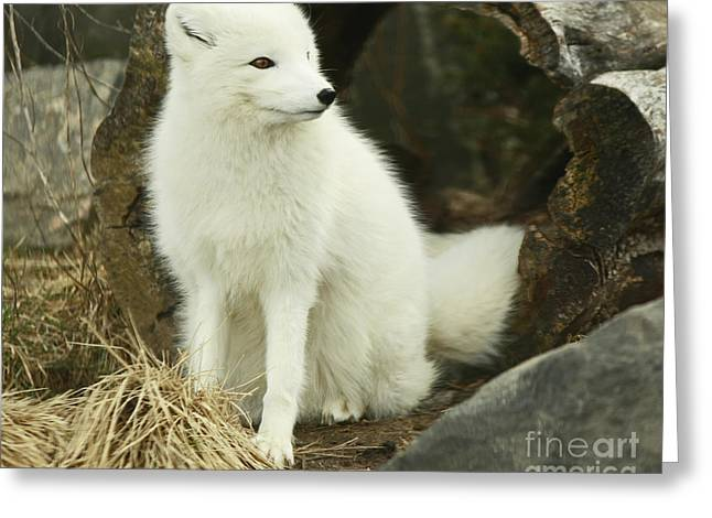 Secret Hide Away- Arctic Fox Greeting Card by Inspired Nature Photography Fine Art Photography