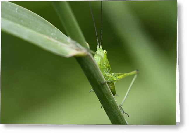 Secretive Katydid Greeting Card