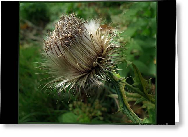 Seeded Thistle Greeting Card by Darleen Stry