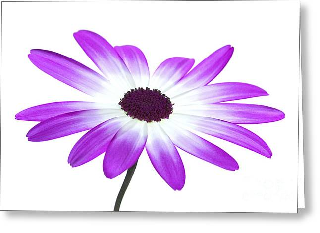 Senetti Magenta High Key Greeting Card by Richard Thomas