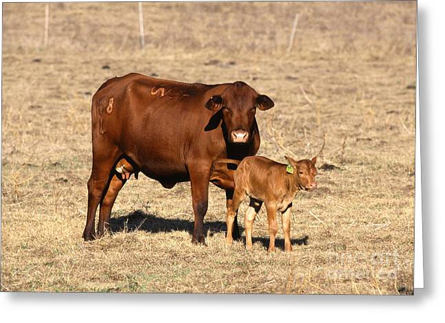 Senopol Surrogate With Calf Greeting Card by Science Source