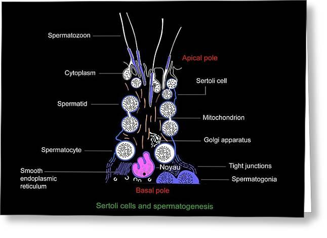 Sertoli Cells, Diagram Greeting Card by Francis Leroy, Biocosmos