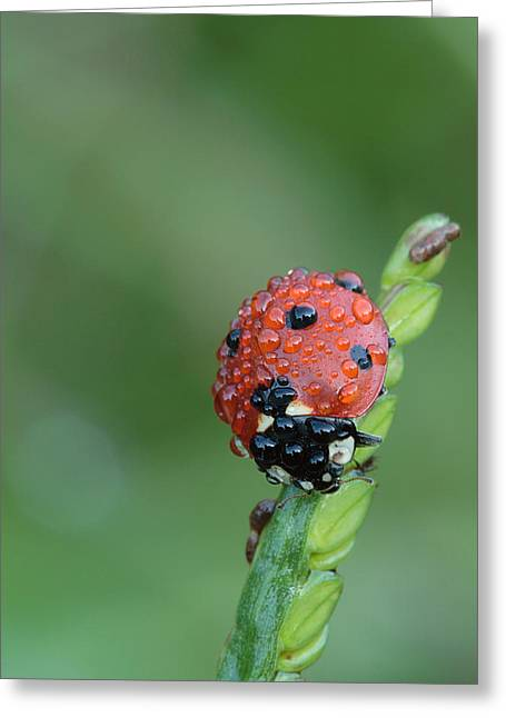 Seven-spotted Lady Beetle On Grass With Dew Greeting Card