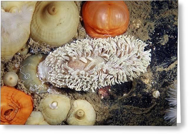 Shaggy Mouse Nudibranch Greeting Card by Alexander Semenov