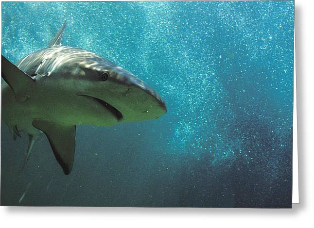 Shark Attack Greeting Card by Carl Purcell