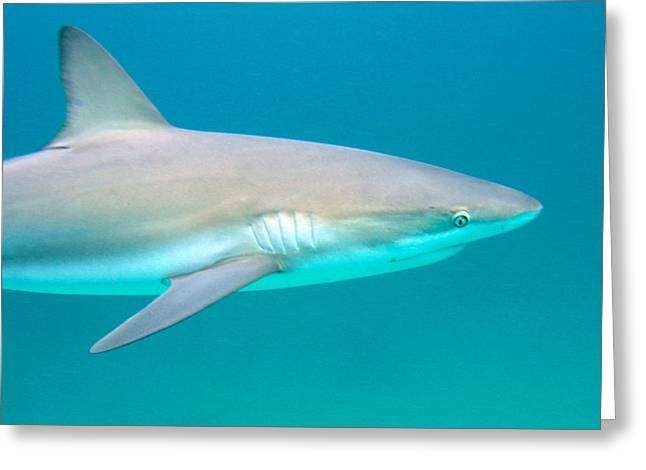 Shark Profile Greeting Card by Ted Papoulas