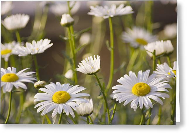 Shasta Daisy (leucanthemum 'filigran') Greeting Card by Maria Mosolova