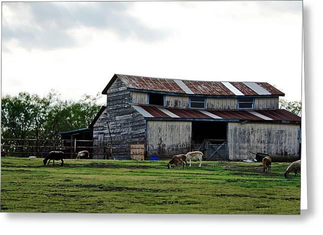 Sheep Barn Greeting Card by Lisa Moore