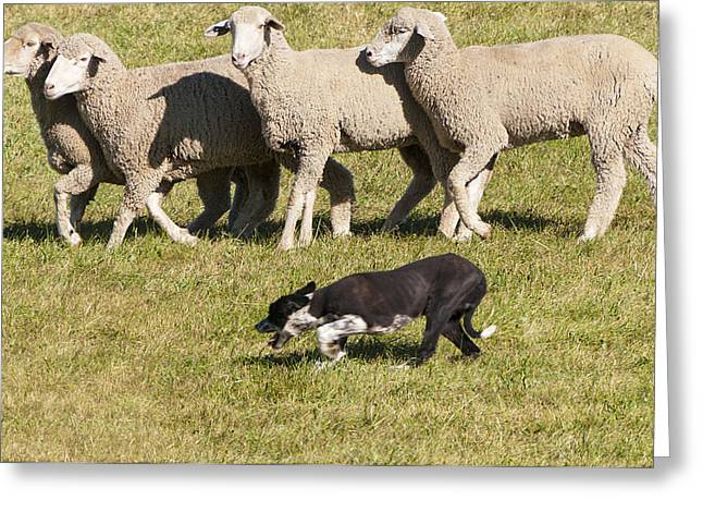 Sheep Dog Trials Greeting Card