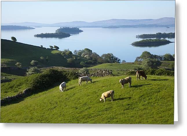 Sheep Grazing By Lough Corrib Cong Greeting Card