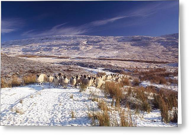 Sheep In Snow, Glenshane, Co Derry Greeting Card by The Irish Image Collection