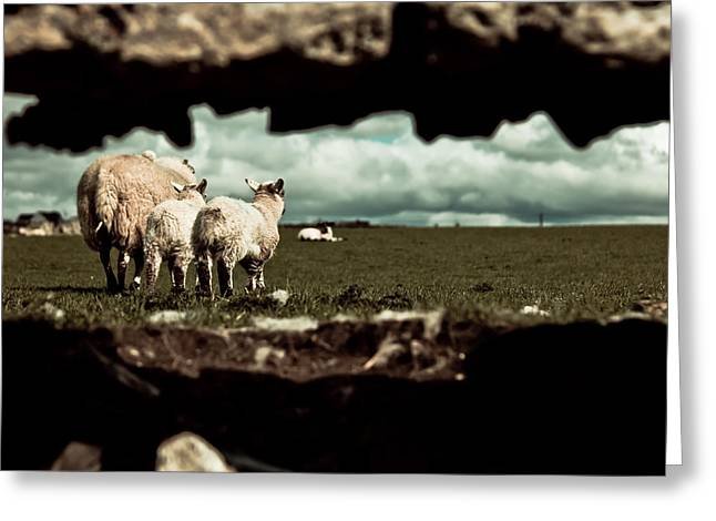 Sheep In The Wall Greeting Card by Justin Albrecht