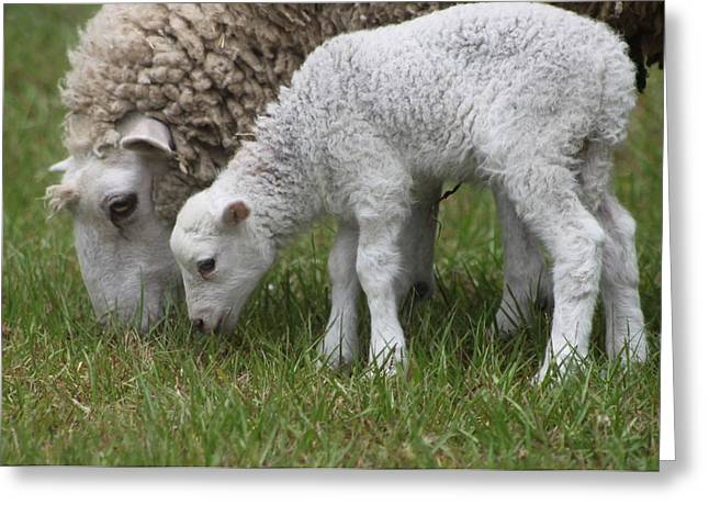Sheep Mom And Lamb Grazing Greeting Card by Jeanne Kay Juhos