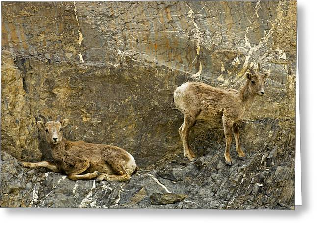 Sheep On Cliff Ledge In Jasper National Greeting Card by Mike Grandmailson