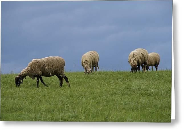 Sheep Greeting Card by Pan Orsatti