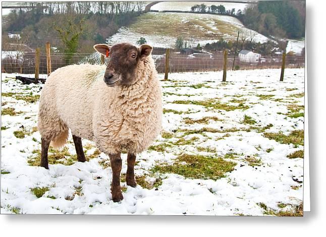 Sheep Greeting Card by Tom Gowanlock