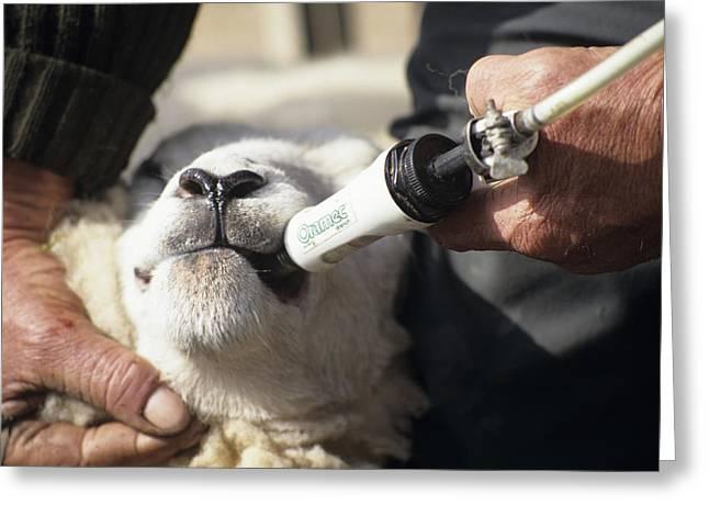 Sheep Worming Greeting Card