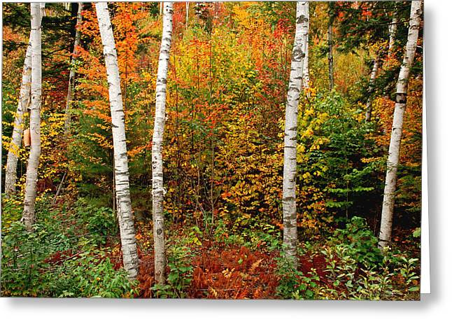 Shelburne Birches 2 Greeting Card