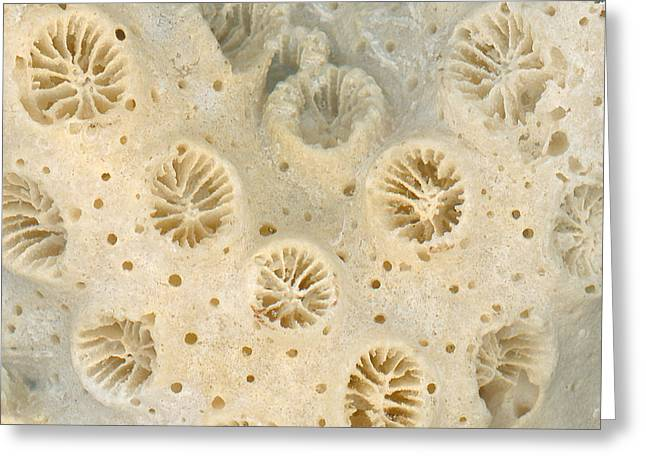 Shell - Conchology - Coral Greeting Card by Mike Savad