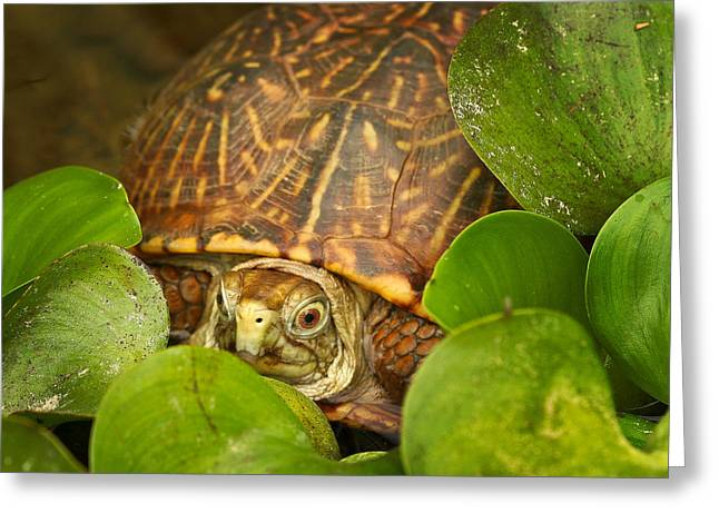 Shelly The Box Turtle Greeting Card by Jean Noren