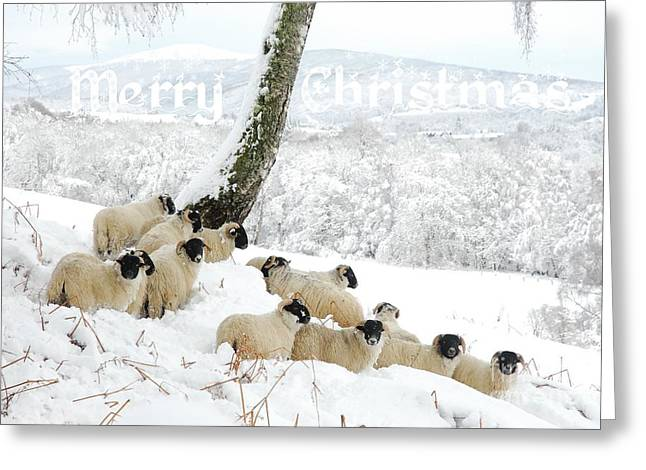 Sheltering Flock - Merry Christmas Greeting Card by John Kelly