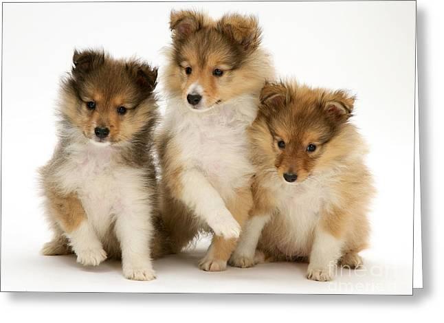 Sheltie Puppies Greeting Card by Jane Burton
