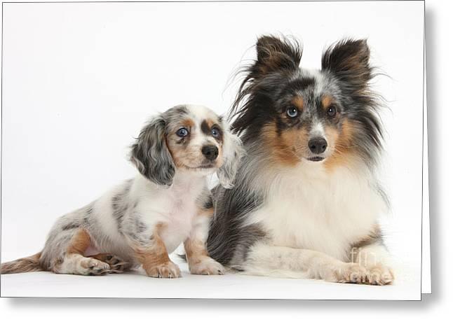 Shetland Sheepdog And Dachshund Puppy Greeting Card by Mark Taylor