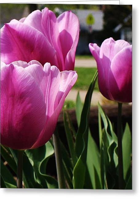 Shining Tulips Greeting Card by Bruce Bley