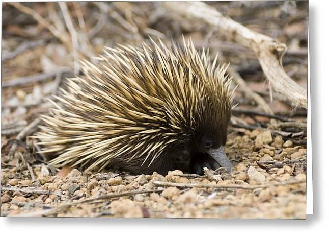 Short-beaked Echidna Greeting Card by Matthew Oldfield