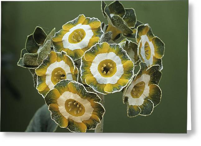 Show Auricula 'hinton Fields' Flowers Greeting Card by Archie Young