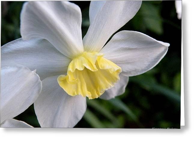 Shy Daffodil Greeting Card