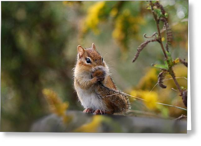 Shy Little Chipmunk Greeting Card
