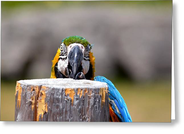 Shy Macaw Greeting Card