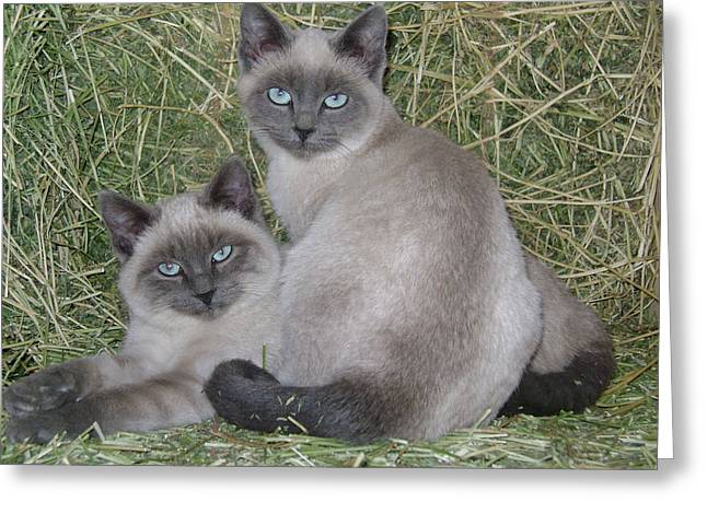 Siamese Haystack Greeting Card by Charles and Melisa Morrison