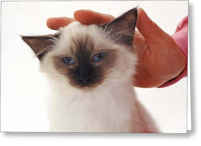 Siamese Kitten Getting Petted Greeting Card by Jane Burton