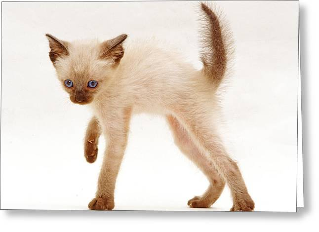 Siamese Kitten In Witchs Cat Display Greeting Card by Jane Burton