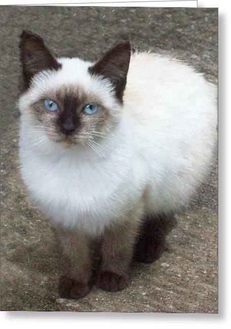 Siamese Kitten Greeting Card by Lisa Williams