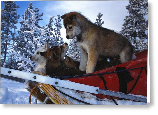 Siberian Husky Puppies Play On A Snow Greeting Card by Nick Norman