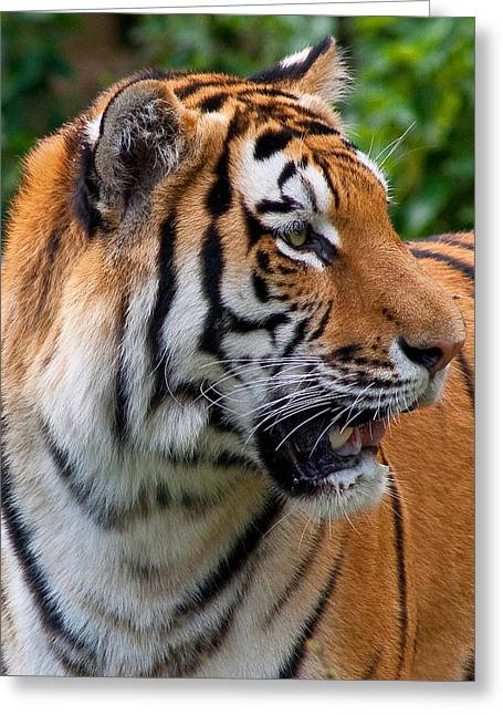 Greeting Card featuring the photograph Siberian Tiger by Cindy Haggerty