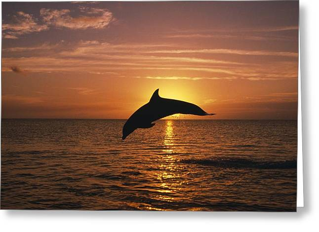 Silhouette Of Leaping Bottlenose Greeting Card