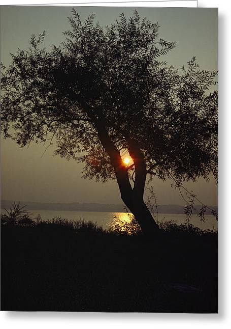Silhouette Of Willow Tree At Sunset Greeting Card by Al Petteway