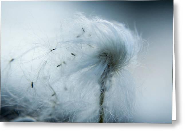 Silken Fibers Of Cotton Grass Greeting Card