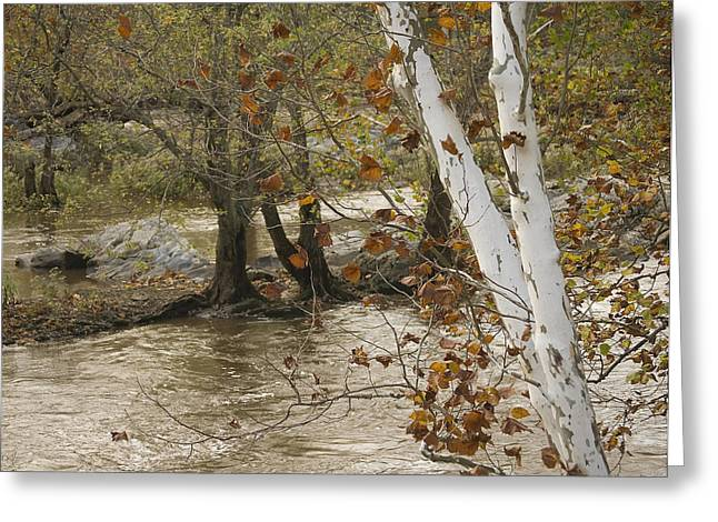 Silver Birch By Potomac Greeting Card