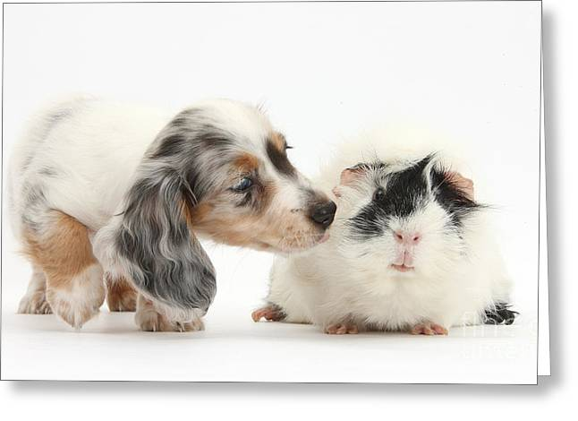 Silver Double Dapple Dachshund Pup Greeting Card by Mark Taylor