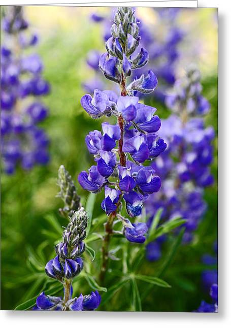 Silver Lupine Colorado Mountain Meadow Greeting Card by The Forests Edge Photography - Diane Sandoval