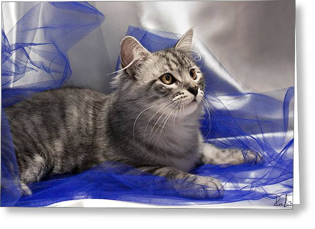 Silver Siberian Kitty On Blue Greeting Card