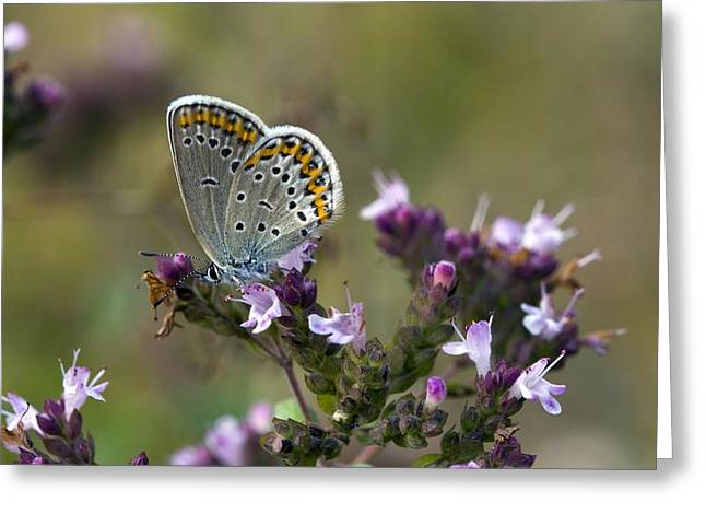 Silver-studded Blue On Marjoram Greeting Card by Bob Gibbons