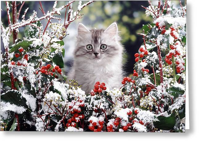 Silver Tabby Kitten Greeting Card by Jane Burton