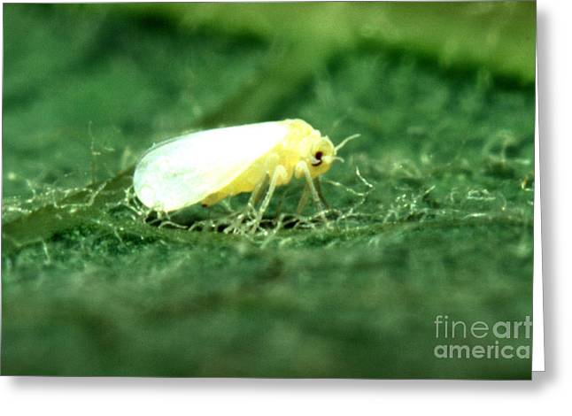 Silverleaf Whitefly Greeting Card by Science Source