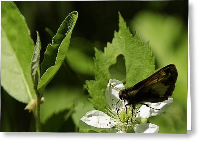Silverspotted Skipper Greeting Card